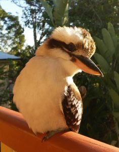 Kookaburra Animal Totem